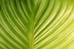 Round leaves Maranta Royalty Free Stock Photography