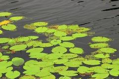 Round liście wodne leluje Zdjęcia Royalty Free