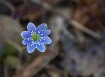 Round-Lobed Hepatica – Anemone americana Royalty Free Stock Photo
