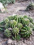 Green ball cactus in the garden stock photo
