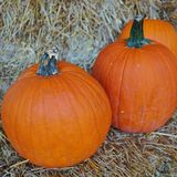 Round orange pumpkins Stock Images