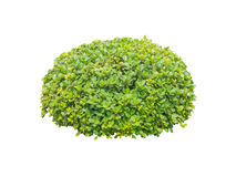 Round ornamental bush isolated Stock Images