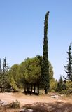 Round pinetree and long thin cypress Stock Photography