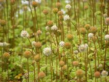 Round plants. Tiny round delicate flowers, serene atmosphere Royalty Free Stock Photos