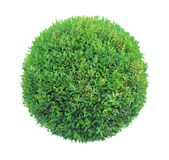 Round pom-pom shape clipped topiary tree isolated on white background for formal Japanese and English style artistic design garden. Round shape clipped topiary stock photos
