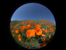 Round Poppies 2. California golden Poppies photographed with a fisheye lens. The black border can be kept and expanded or removed for an attrative round image Royalty Free Stock Photos