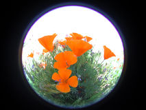 Round Poppies. California golden poppies photographed with a fish eye lens. The black border can be kept and expanded or removed for an attractive round image Stock Photo