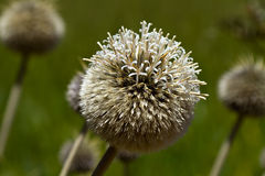 Round prickle Stock Images