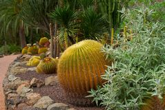 Round prickly cactus on the dry soil Royalty Free Stock Photos