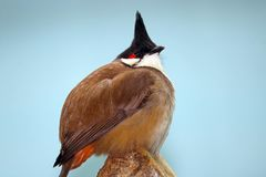 Round puffed up red-whiskered bulbul pycnonotus jocosus with a funny crest perching on a tree in front of a blue sky. Round puffed red-whiskered bulbul with a Stock Photo