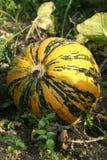 Round pumpkin in the garden Stock Images