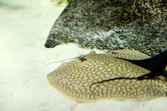 Round Ray and Pterygoplichthys Pardalis Fish. A round ray and Pterygoplichthys Pardalis Plecostomusin in an aquarium Stock Images