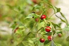 Round red chilly plant Stock Image