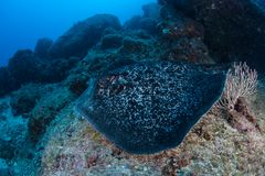 Round Ribbontail Ray in Cocos Island royalty free stock photography