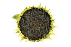 Round ripe sunflower full of black seeds on a white background Stock Photos