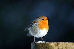 Round Robin. A tiny European Robin resting on a snowy post Stock Photography