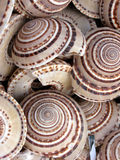 Round sea shells. With a conical spiral Stock Photography