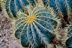 Round shaped cactus. Cactus decor. Round shaped cactus close up image. Blue Cactus decor in a desert stock photos