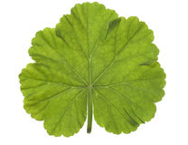 Round-Shaped Leaf Stock Images