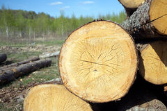 Round stacked sawed pine logs in a pile closeup Royalty Free Stock Photography