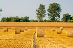 Round straw bales in harvested fields Stock Photo