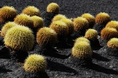 Round Succulent Plant Stock Photos