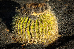 Round Succulent Plant Cactus Growing on a Stones Ground Stock Images