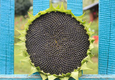 Round sunflower with ripe seeds lies ripped on the fence Royalty Free Stock Photography