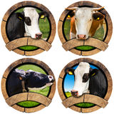 Round Symbols with Heads of Cows Royalty Free Stock Photography