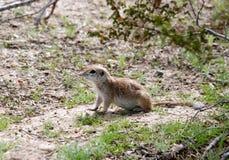Round-tailed ground squirrel. Under creosote bush in Sonora Desert Stock Photos