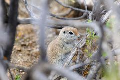 Round-tailed Ground Squirrel Concealed in Desert Scrub. View of round-tailed ground squirrel concealed in scrub, the Sonoran Desert, Phoenix, Arizona royalty free stock photos