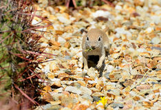Round-tailed ground squirrel Royalty Free Stock Images