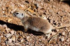 Round-tailed ground squirrel standing alert on desert ground. Female Round-tailed ground squirrel xerospemuphilus tereticaudus, in Arizona`s Sonoran desert stock photos