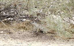 Round Tailed Ground Squirrel, Sweetwater Wetlands, Tucson Arizona desert royalty free stock images