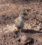 USA, Arizona: Round-tailed Ground Squirrel Stock Photography