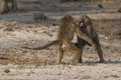 Round three. Two baboons sparring and fighting each other Stock Image