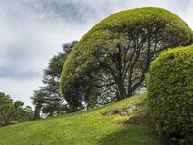 Round Topiary Tree on a Sunny Hill in Italy. A huge rounded tree shaped by gardeners on a hillside near Lake Como in Italy Royalty Free Stock Photo