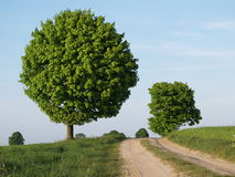 Round Tree and Dirt Road. Round green tree and smaller green trees along a dirt road royalty free stock image