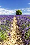 A round tree in a lavender field Stock Photo
