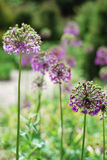 Round violet inflorescences against the blurred green flowerbed Stock Image