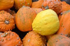 Round Warty Gourds. Round bump covered warty gourds in orange and yellow for autumn decoration for sale at the outdoor farm market stock images