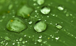 Round water drop on green leaf. Exotic garden after rain. Wet season in tropics. Stock Images