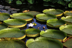 Round water lily leaves Royalty Free Stock Images