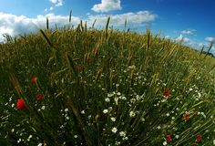 Round wheat & poppy field Stock Photo
