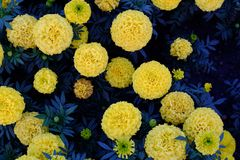 Round yellow flowers on a dark blue background foliage Royalty Free Stock Photography