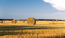 Round yellow straw bales in a cut field in summer day Royalty Free Stock Image