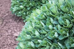 Round zieleni krzaki ornamentacyjni kwiaty r w ogr?dzie Zako?czenie obrazy royalty free