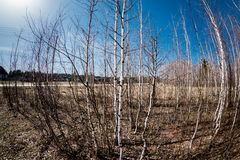 Rounded birch grove Stock Images