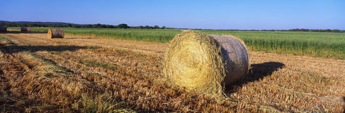 Rounded hay bails. These are rounded hay bails made from freshly cut hay in the field. They are generously spaced apart in the field stock image