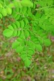 Rounded leaves of Moringa oleifera Stock Image